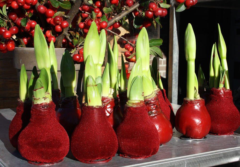 Amaryllis-Blumenzwiebeln in rotem Samt-Wachs