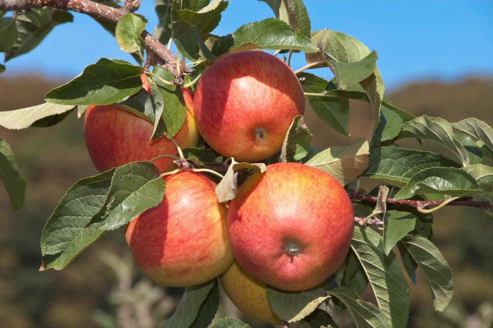 Pinova: Früchte
