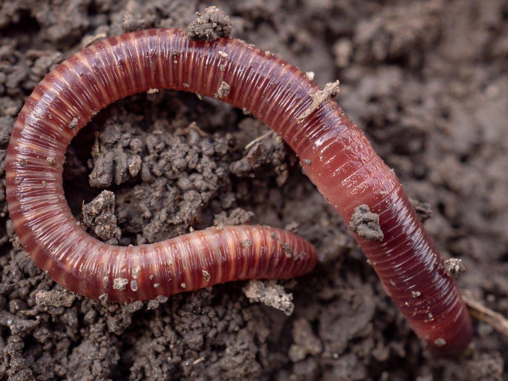 Kompostwürmer: Streifenwurm