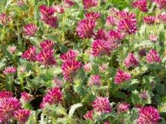 Berg-Wundklee in voiller Blüte