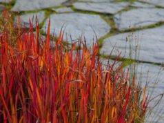 Japanisches Blutgras im Garten