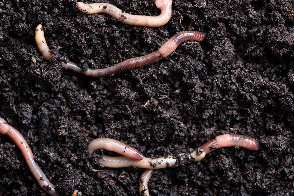 Kompostwürmer: Angelwurm