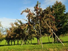 Apfelbaum mit Aststützen