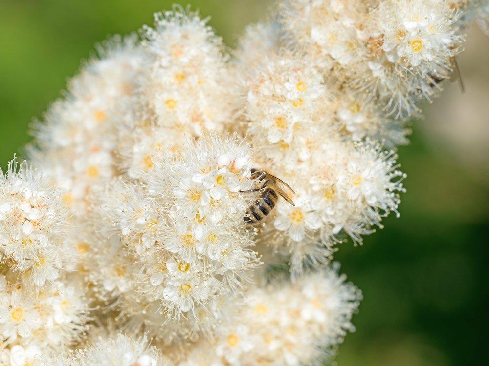 Schattenstauden für Bienen