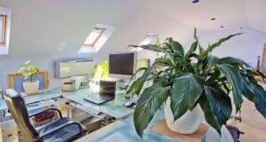 Schusterpalme auf dem Schreibtisch