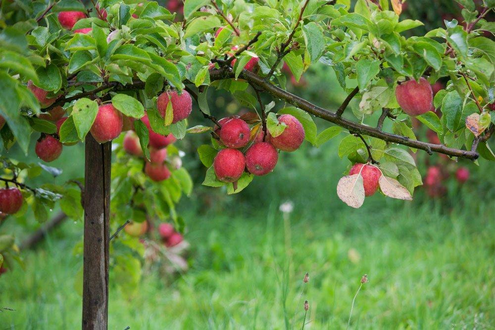 T-Stütze für Obstbaumäste