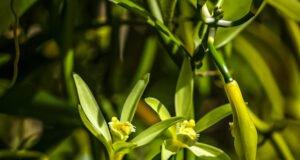 Vanillepflanzen züchten