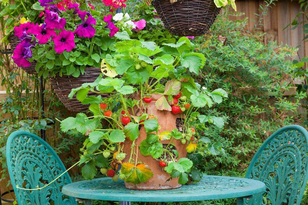 Erdbeeren im Topf für Balkon und Terrasse