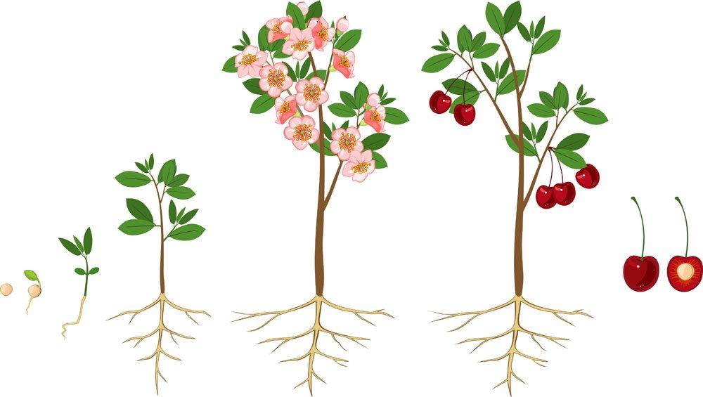 Kirschkern pflanzen