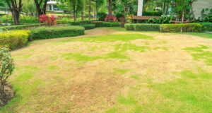 Flecken in überdüngtem Rasen