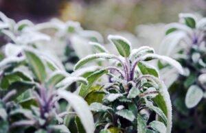 winterharte Kräuter