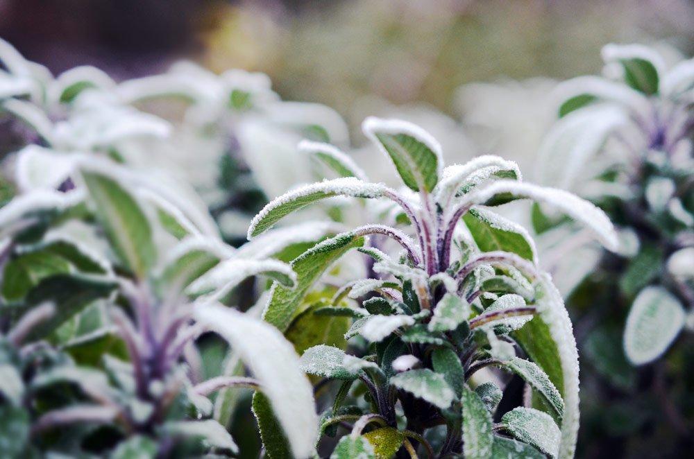 15 winterharte Kräuter: Diese Kräuter können Sie auch im Winter ernten