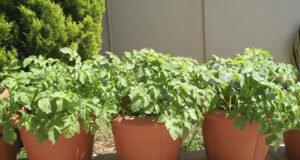 Kartoffeln im Topf anbauen