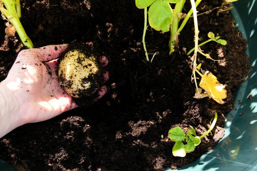 Kartoffeln im Topf ernten