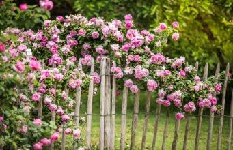 Rosen in Kartoffeln pflanzen