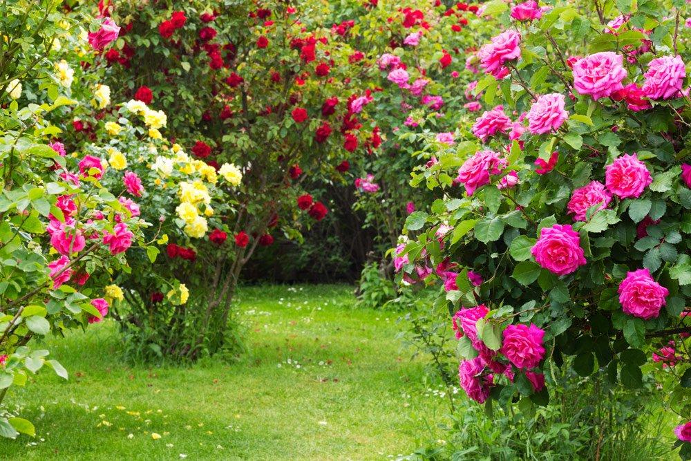 Rosen vermehren - Rosensorten