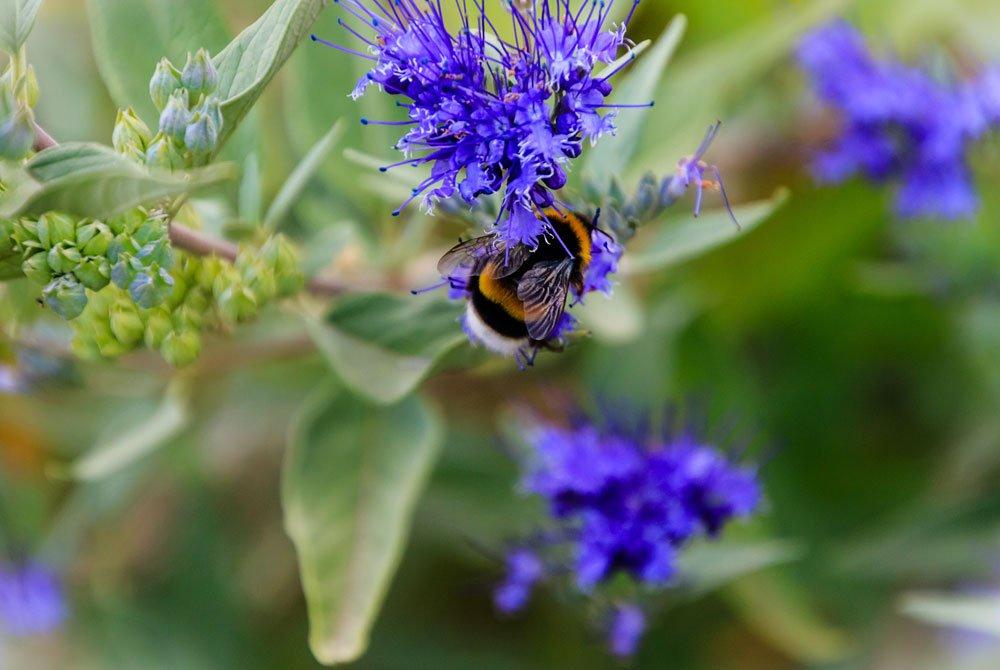 Bartblume Kew Blues