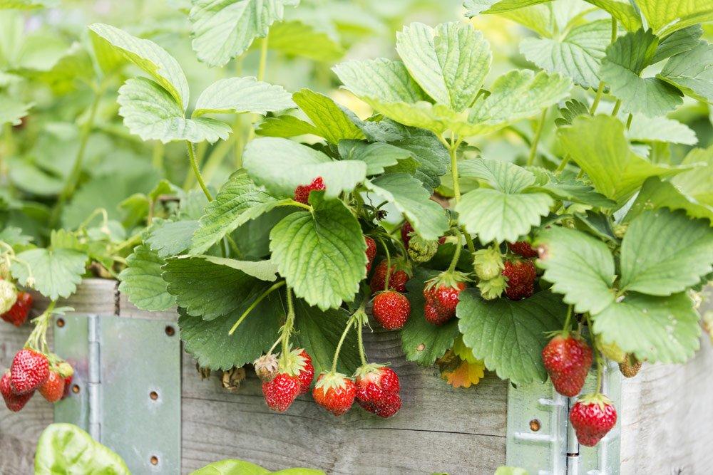 Erdbeeren im Hochbeet