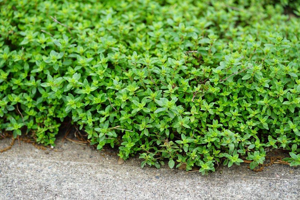 Zehn essbare Bodendecker