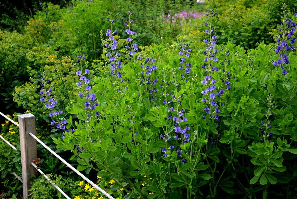 Indigolupine pflanzen