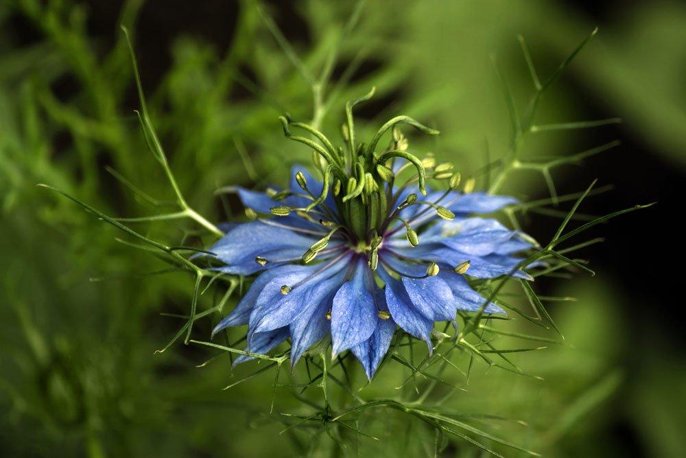 Jungfer im Grünen Oxford Blue
