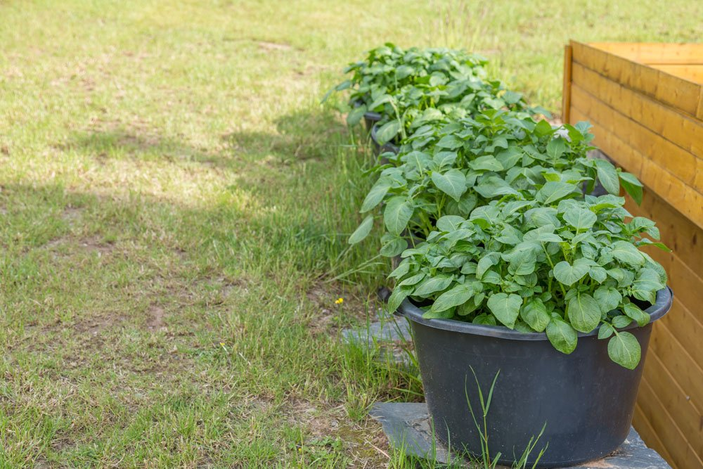 Kartoffelpflanzen im Eimer