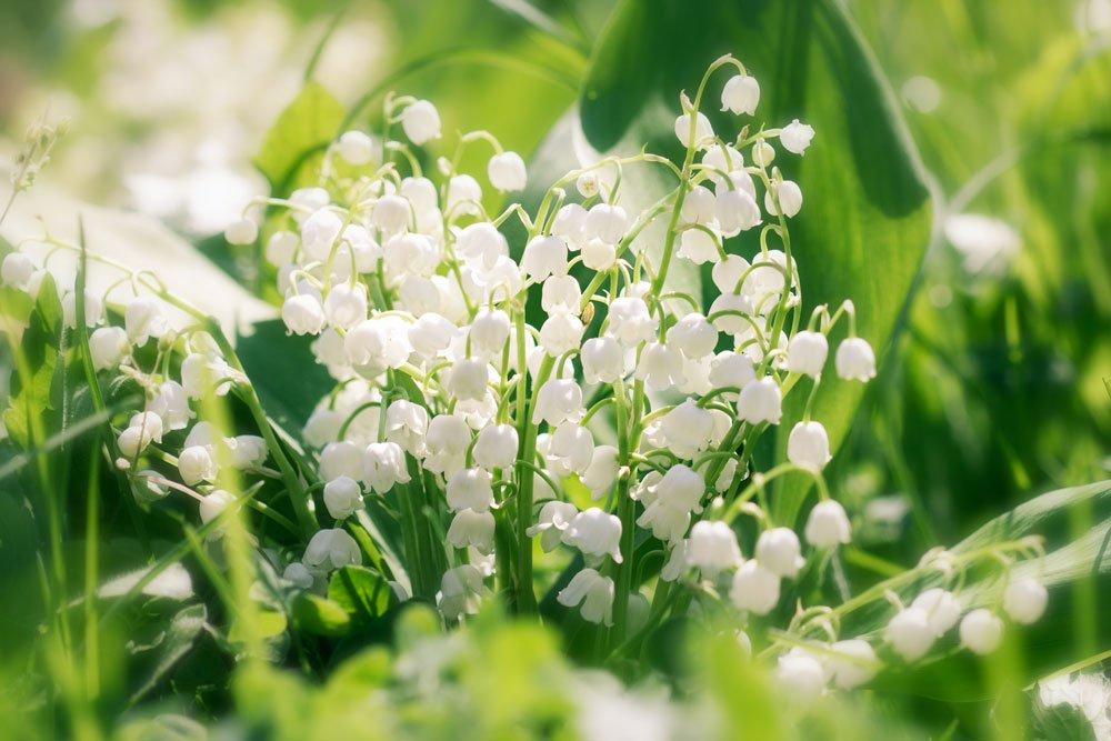 Maiglöckchen im Garten – Tipps zum Pflanzen, Gießen und Düngen