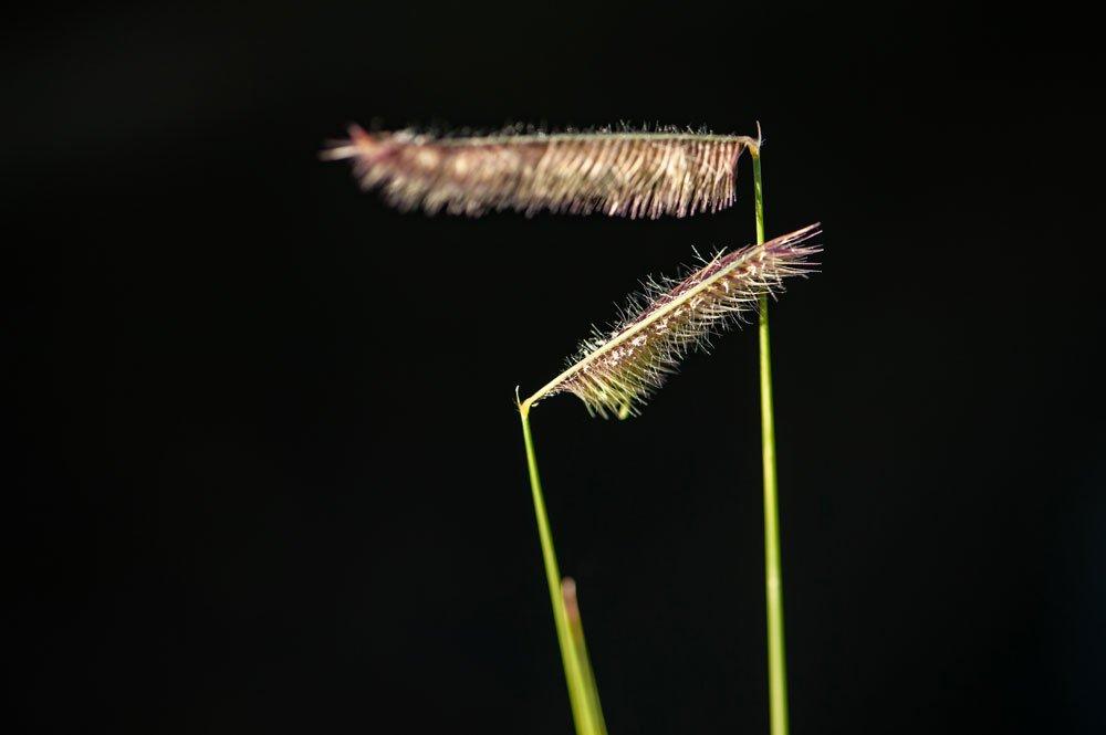 Moskitogras pflanzen