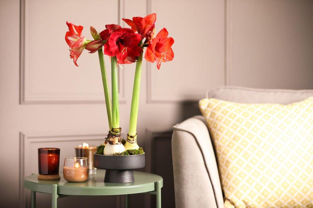 Amaryllis mit Wachs-Blumenzwiebeln