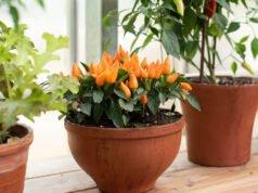 Chilipflanze auf der Fensterbank