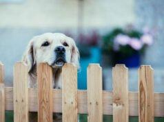 Hund steht am Gartenzaun