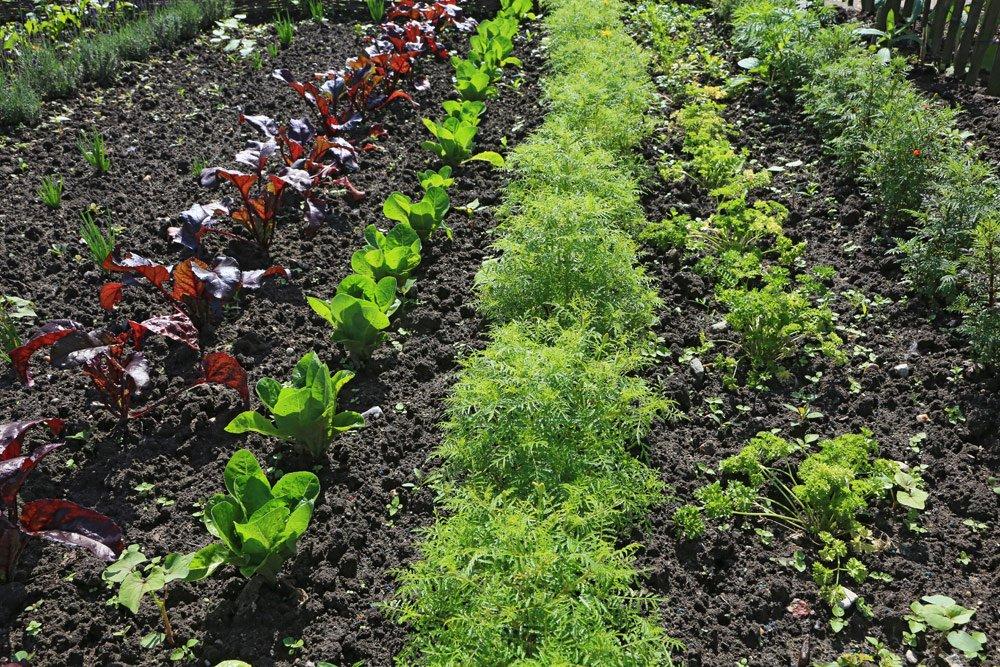 Mischkultur Beet anlegen: Tipps zur passenden Gemüsesorten