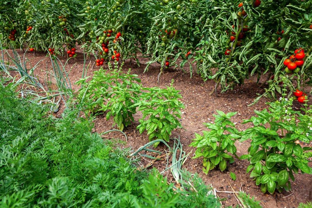 Mischkultur: Tomate und Basilikum