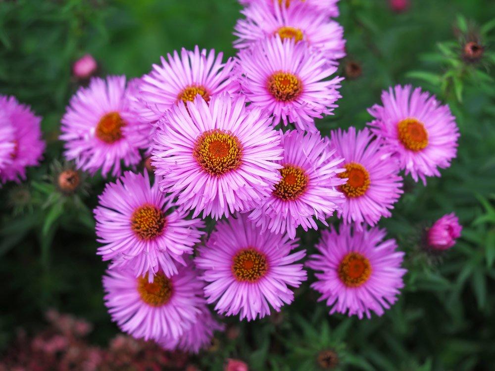 Raublatt-Aster Harrington´s Pink