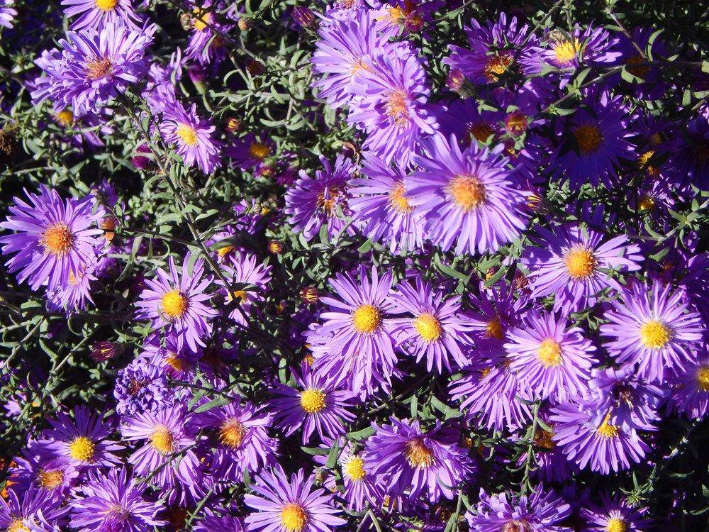 Raublatt-Aster Purple Dome